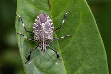 Image Of Stink Bug (Eocantheco...