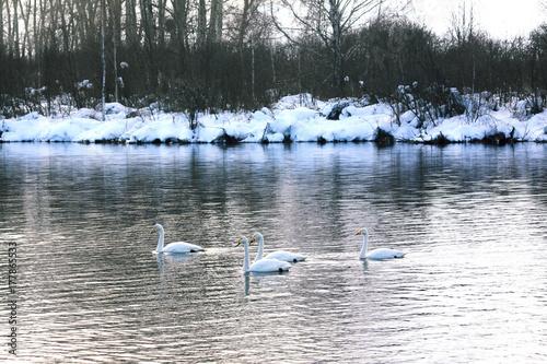 Fotografie, Obraz  Wintering of swans on lake in Altai