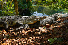 Crocodile Mexico Riviera Maya ...