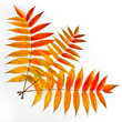 Colorful sumac leaves on a white background. Autumn.