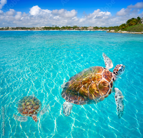 Papiers peints Caraibes Akumal beach turtles photomount Riviera Maya