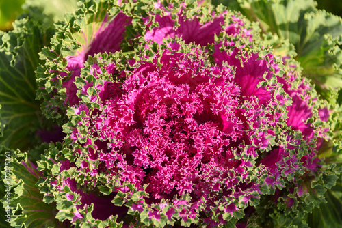 Zdjęcie XXL Barwioni liście ornamentacyjna kapusty zakończenie up w lecie.