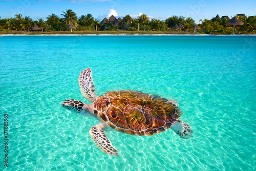 Papiers peints Caraibes Holbox Island turtle photomount in Mexico