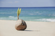 Coconut sprouting a leaf on a tropical beach