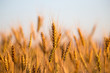 canvas print picture - yellow ears of wheat at sunset in nature