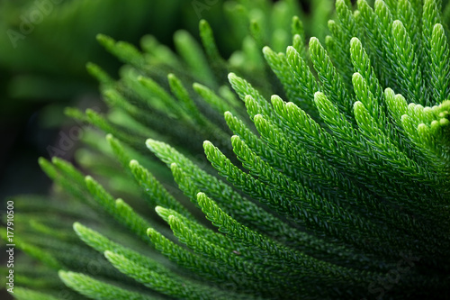 Araucaria heterophylla Leaf. Green nature background. Canvas Print