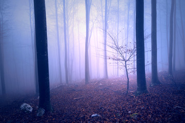 Fantasy purple blue colored foggy forest tree landscape. Color filter effect used.