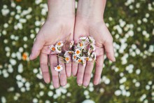 Woman Hand Holding Daisies