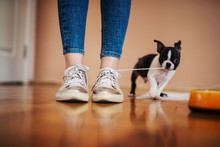 Little Dog Pulling Laces Of Girls Shoes In The House. Boston Terrier.