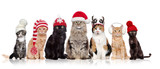 Fototapeta Zwierzęta - A group of cats sitting in a raw in a white background wearing christmas hats