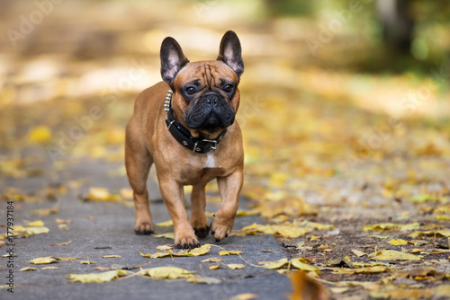 Stickers pour porte Bouledogue français french bulldog walking in the park in autumn