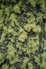 Close Up Of A Redwood Tree Covered In A Thick Green Lichen.