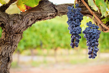 Two Bunches Of Red Grapes Hang...