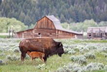 Bison Nursing