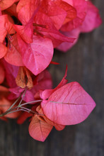 Vibrant Pink Bougainvillea Flo...