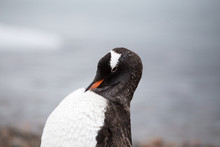 A Gentoo Penguin Preens Itself At Neko Harbour, Antarctica