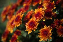 Chrisanthemum Being Grown In P...