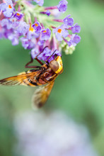 Macro Shot Of Bee Pollinating ...