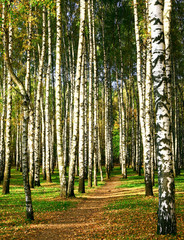 Fototapeta Brzoza Walking path in the evening autumn birch grove