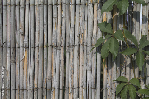 Fotografie, Obraz  bullis vine  in the sedge wall