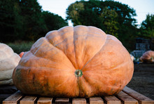 Giant Pumpkin On Display At A Pumpkin Growing Contest