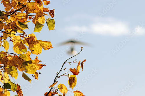 Yellow maple leaves  and blurred motorized hang glider flying on the blue sky background
