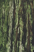 Close Up Of A Redwood Tree Covered In A Thick Green Moss.
