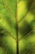 Macro of a green leaf
