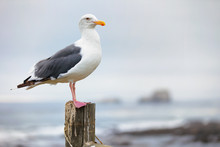 Seagull Sitting On A Post