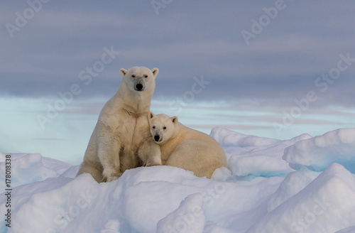 "Fotobehang Ijsbeer ""Northern Comfort"" - A polar bear yearling cub snuggles in comfort with mother polar bear on a snow covered iceberg. The Seven Islands, Svalbard, the Arctic, Norway."