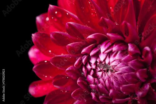 Foto auf Leinwand Kastanienbraun Fresh Red Dahlia Fermain flower, close-up