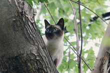 A Siamese Cat Is Stuck In A Tree