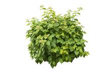 Green Bush Isolated On White B...