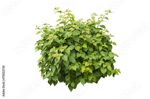 green bush isolated on white background. Wallpaper Mural