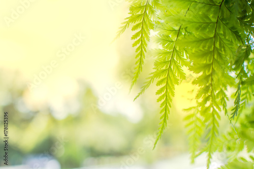 Fern leaf with sunlight in the morning , Selective focus.