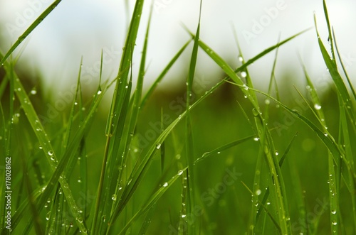 View of rain drops on blades of green grass in spring