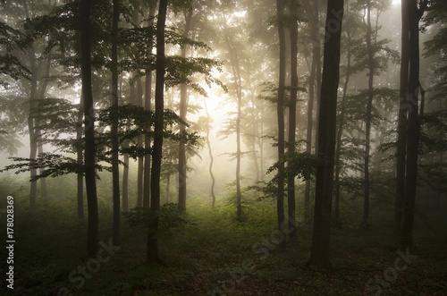Enchanted woods with fog and light trough trees