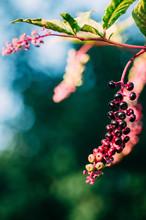 Pokeberries (pokeweed) In Autumn