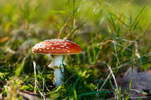 Mushroom Commonly Known As The...