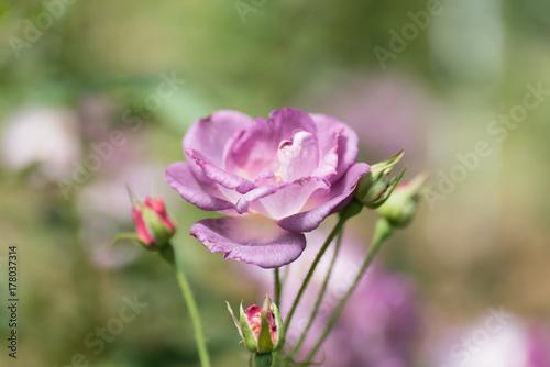 Fototapeta Purpurowy róża kwiatu okwitnięcie w ogródzie, dekoracja kwitnie