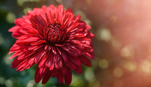 Red Chrysanthemum Flowers In Garden. Autumn Background With Copy Space. Selective Focus
