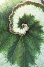 Begonia Rex Leaf Centre