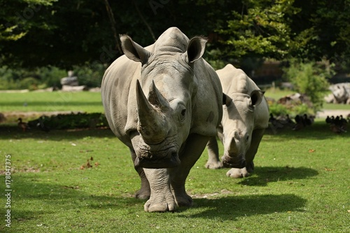 Fényképezés  White rhinoceros in the beautiful nature looking habitat