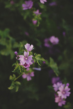 Purple Mallow (Malva  Sylvestr...