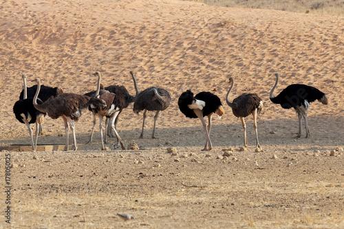 Staande foto Struisvogel Strausse im Kgalagadi Transfrontier Park