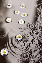 Daisies In The Puddle