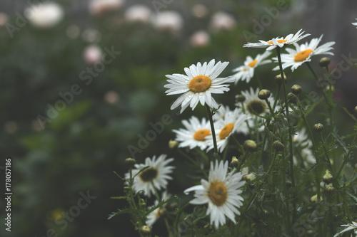 фотография  Tender daisies in the summertime