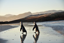 Penguins On Boulders Beach In Cape Town, South Africa