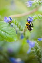 Macro Catch Of Bumblebee Perch...