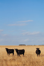 Black Angus Cattle In Summer P...